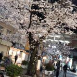 もう少しで桜が満開に。